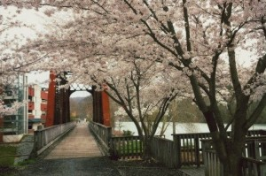 Cherry Blossoms on the Rail Trail
