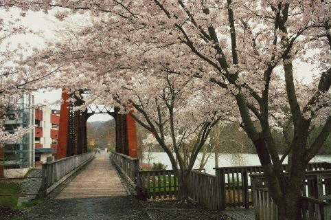 Cherry trees in spring on the Rail Trail, Photo by Roman Olynyk